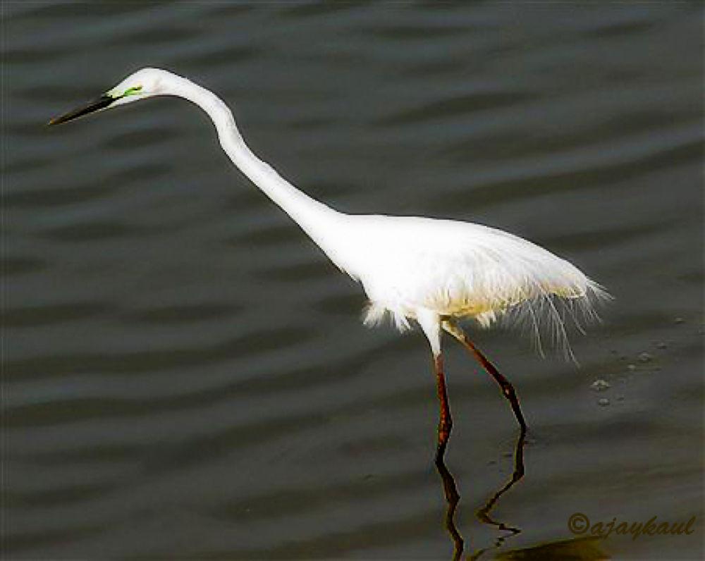 Egret--Looking for prey by ajaykaul