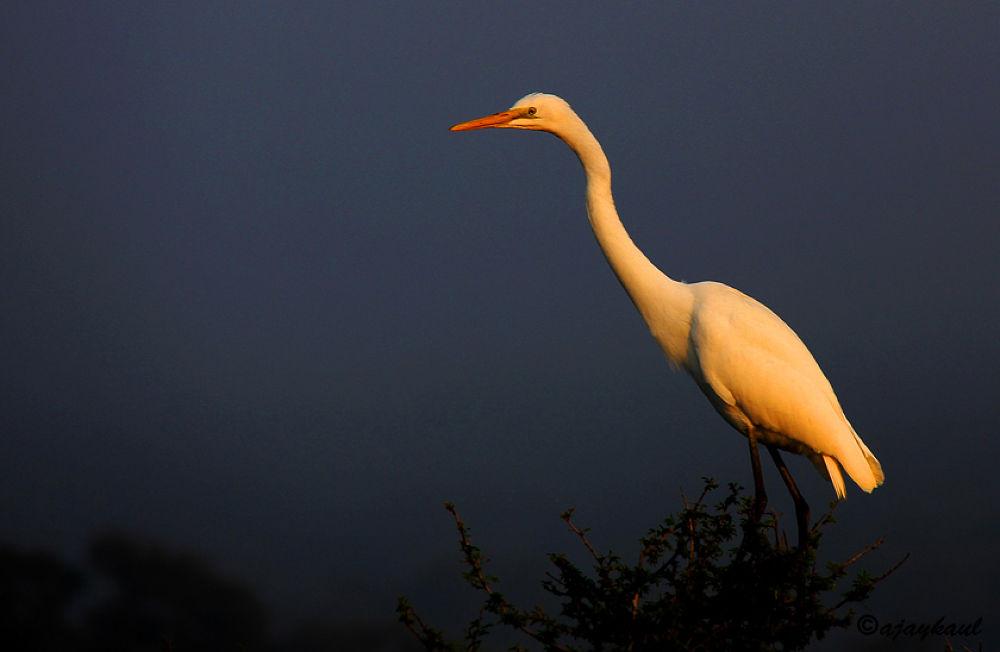 egret by ajaykaul