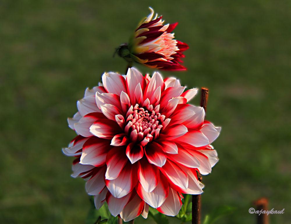 flower1 by ajaykaul
