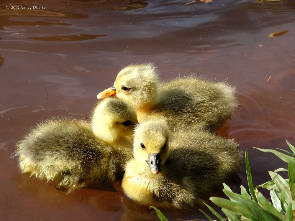 3 duckies by Nancy Photoart