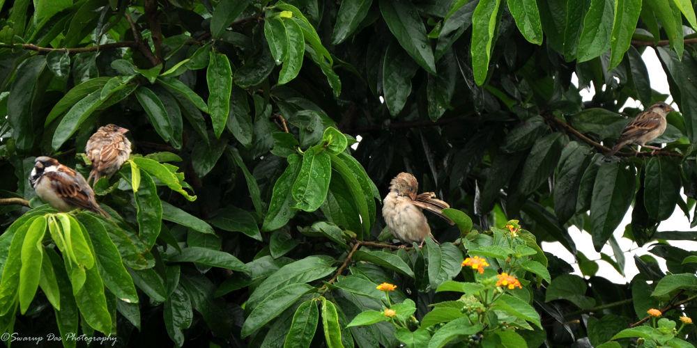 house sparrow by swarupdas