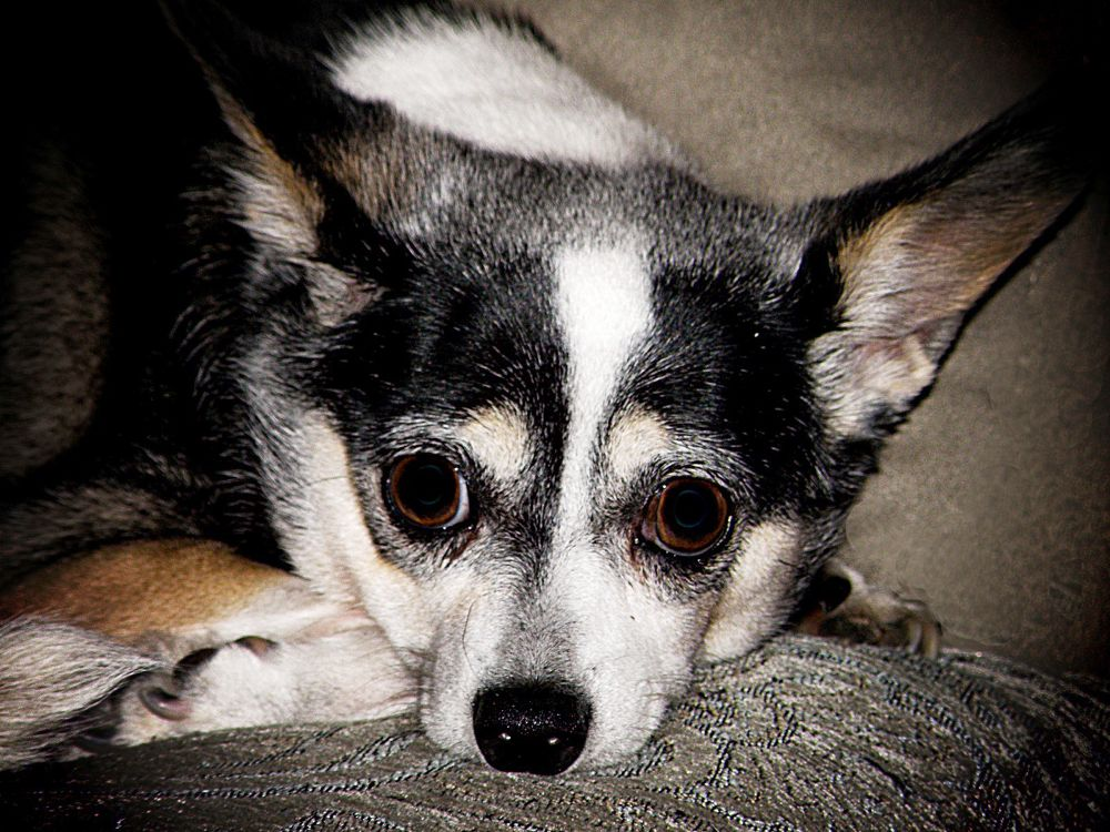 Photo in Animal #dog #puppy #chihuahua #black/white #resting #contemplative