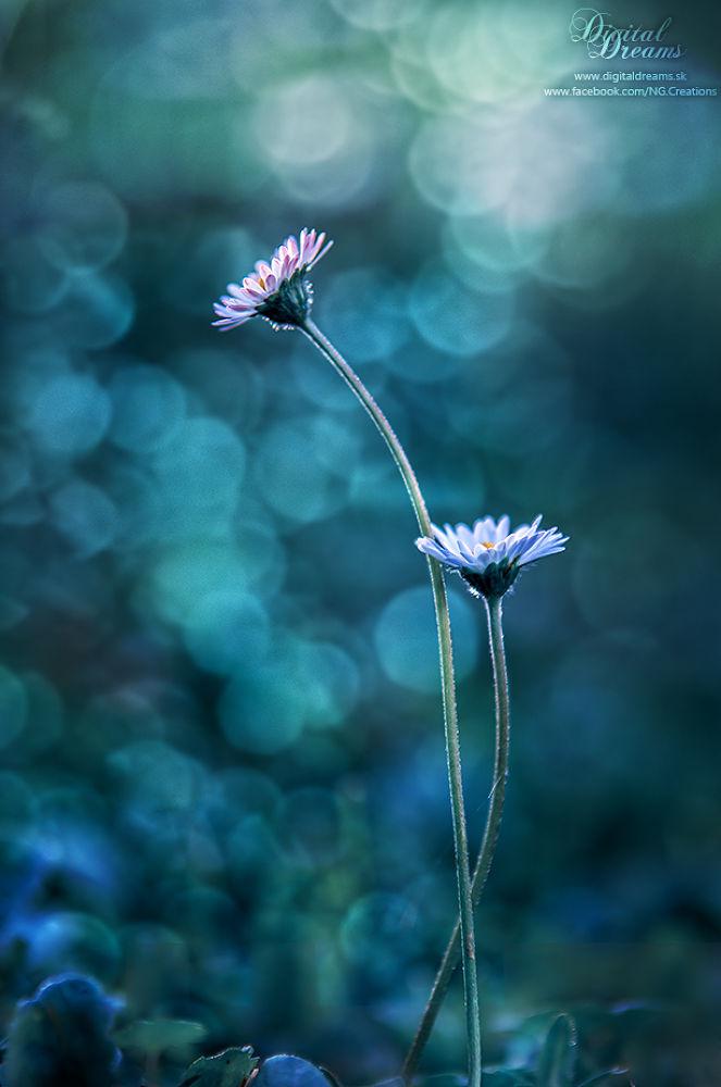 Daisies in love :) by digitaldreams_sk