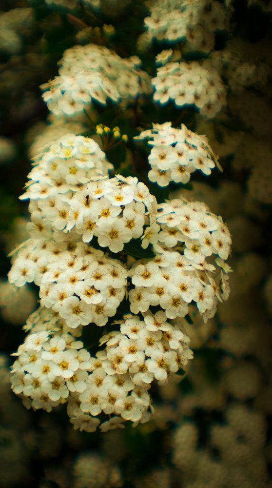 Flower white  by Kris Gorynski