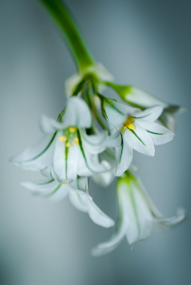 Flower white  by Kris Gorynski