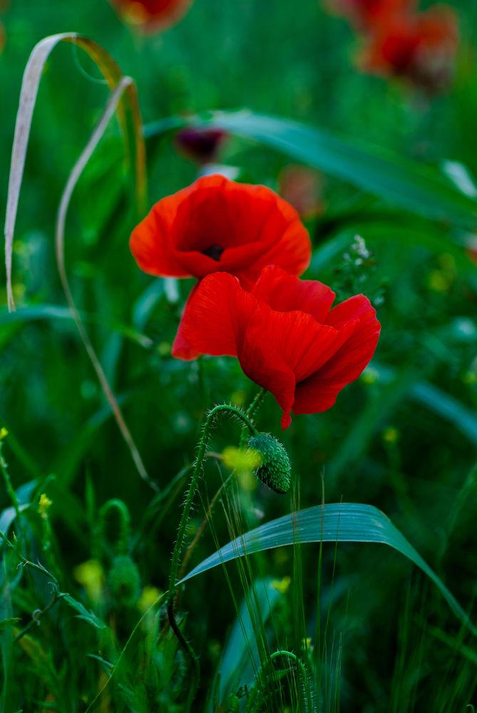 Poppy  by Kris Gorynski