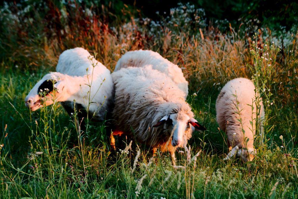Sheep at sunset by oliversvob