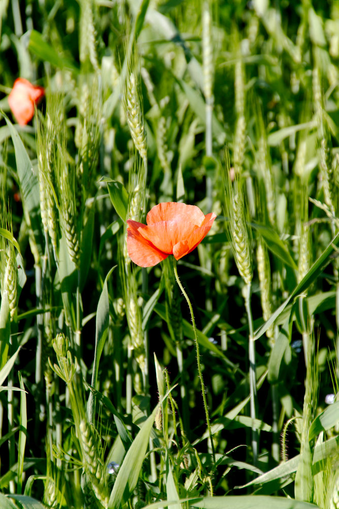 Photo in Random #wheat #close upe #macro #canon #nature #poppy #red poppy #agriculture #farming #ypa2013 #croatia #europe #grain #cereal