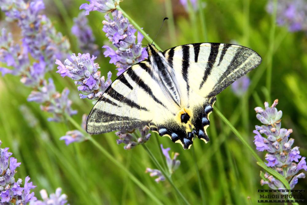 Butterfly on lavender by oliversvob