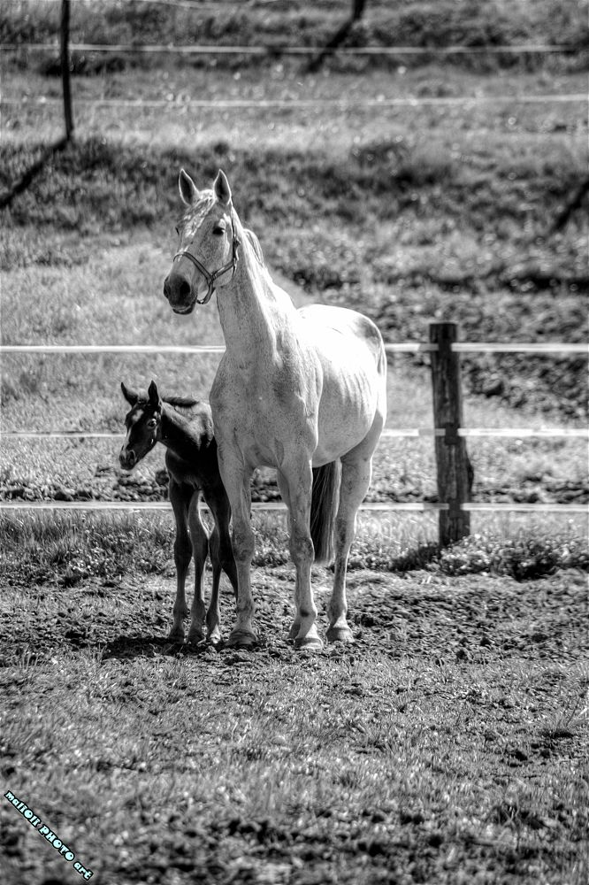 Photo in Black and White #horse #farm #black and white #b&w #b&w by malioli #canon #croatia #europe