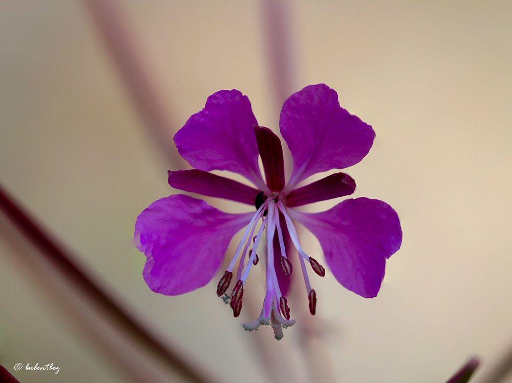 Soguksu national park, a flower by bulentboz