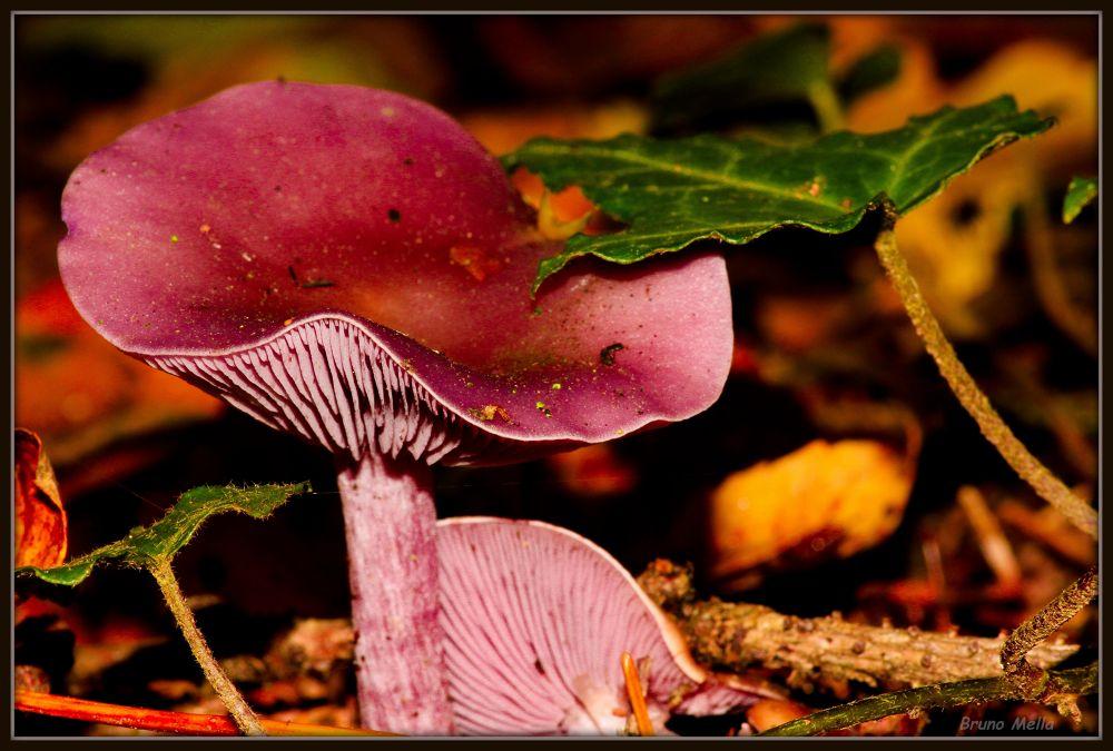 Fungus  by BrunoMella