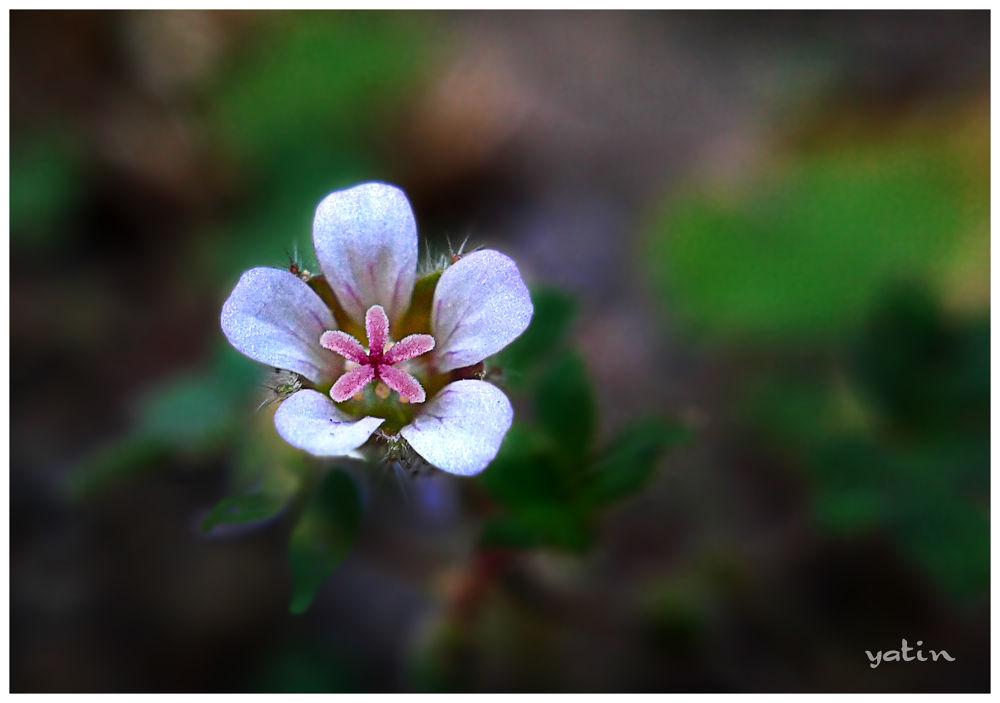 Starfish Geranium.jpg by sid888ster