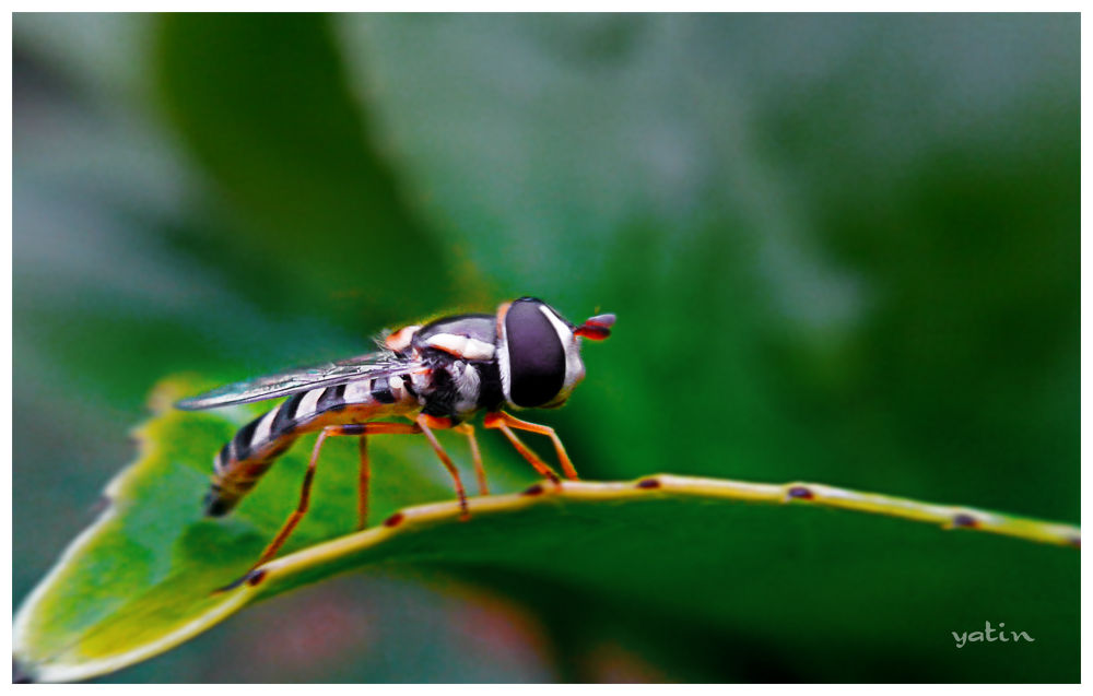 hoverfly.jpg by sid888ster