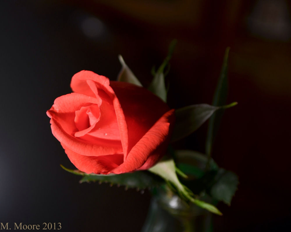 The Rose by mvmoorephotography