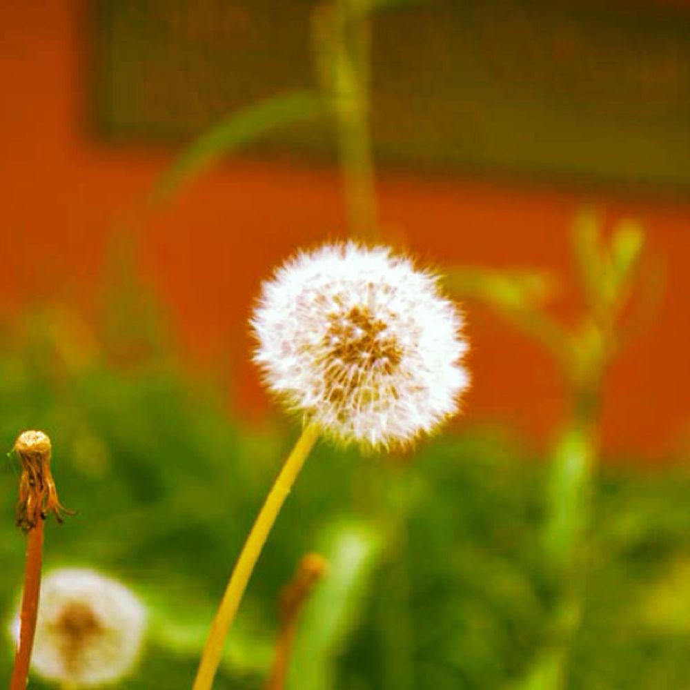 dandelion by mvmoorephotography