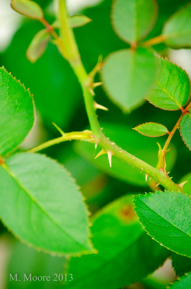 Photo in Nature #rose #thorne #autumn #green #protection #nikon #d5100