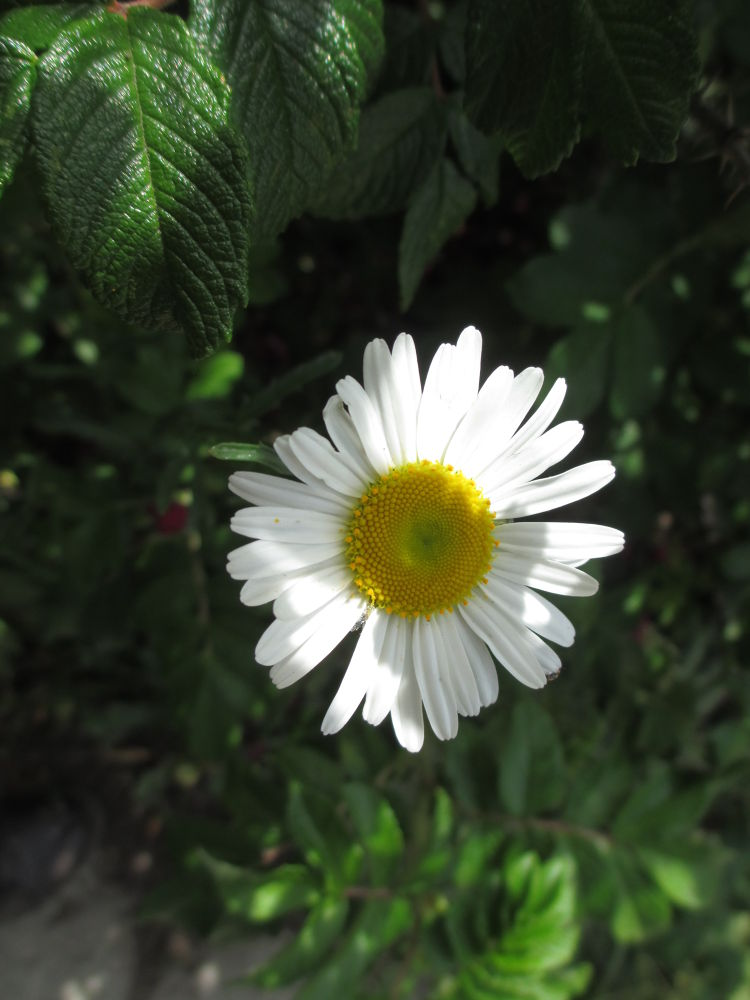 Photo in Nature #daisy #flower