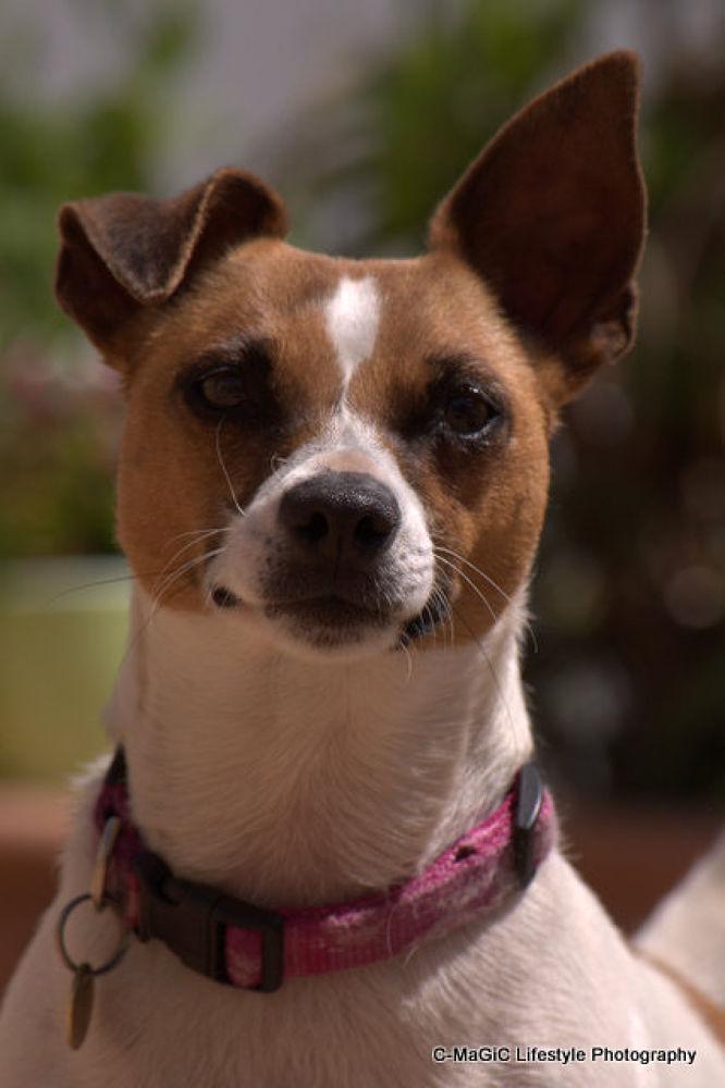 Photo in Random #love #dog #pet #cape town #jack russel #gorgeous