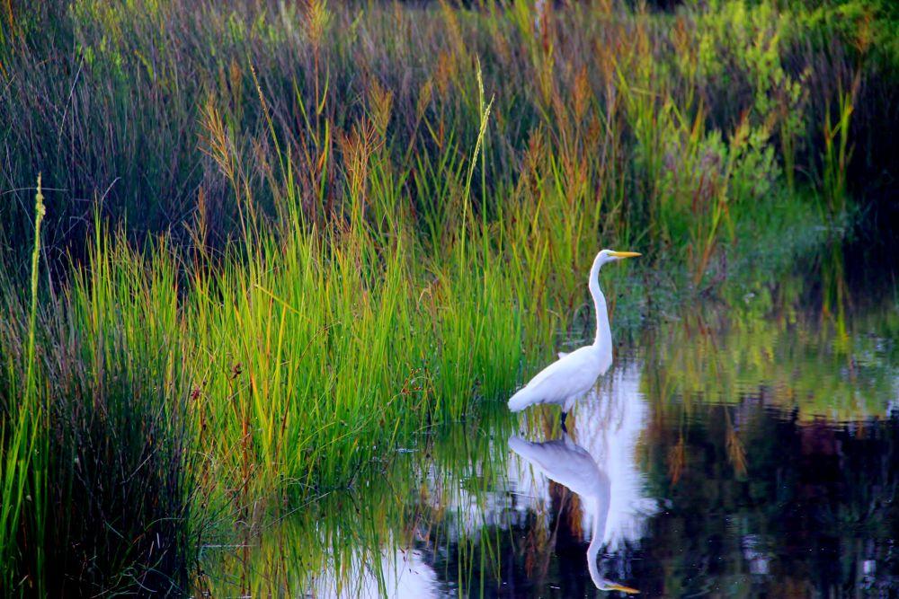 Photo in Random #wildlife #water fowl #north carolina