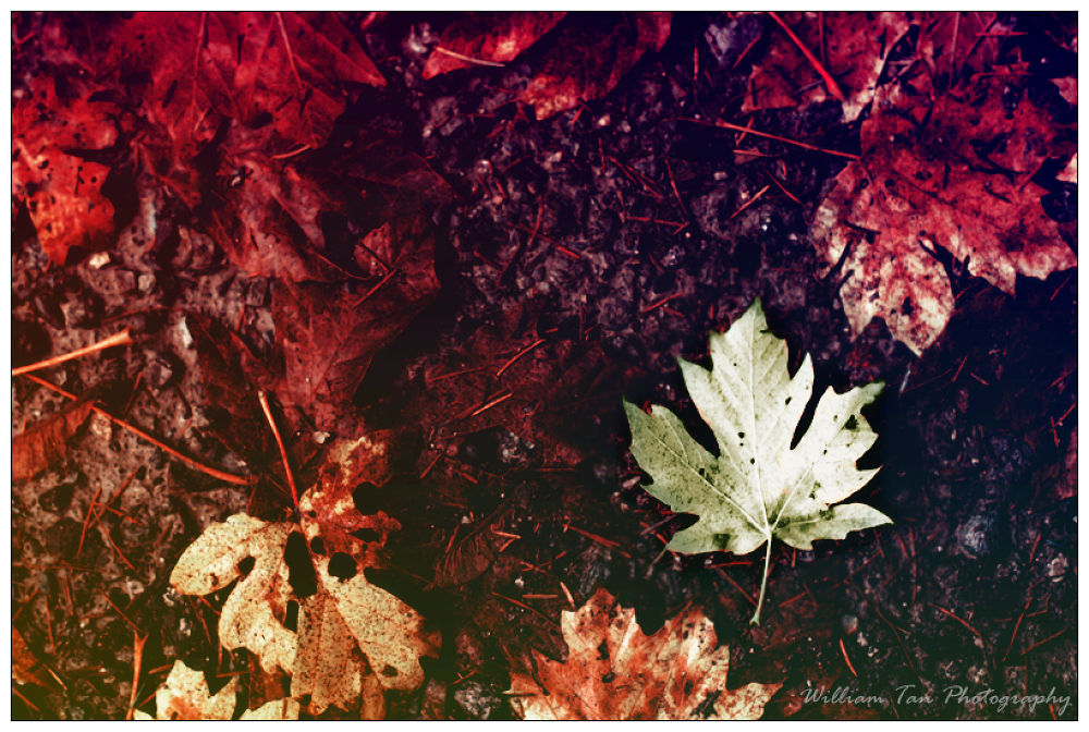 Maple leaf by williamtanphotography