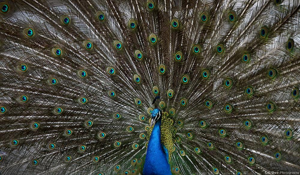 Peacock. by LiLDee