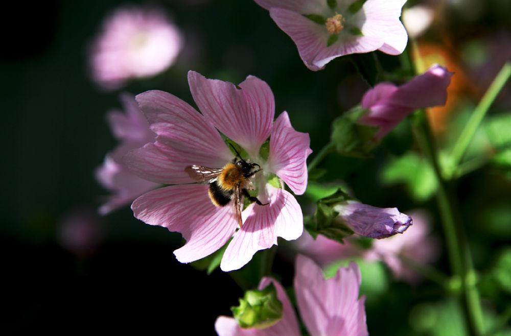 Photo in Nature #russia #flower #plant #bumblebee #rusova anna #canon #rusova_anna
