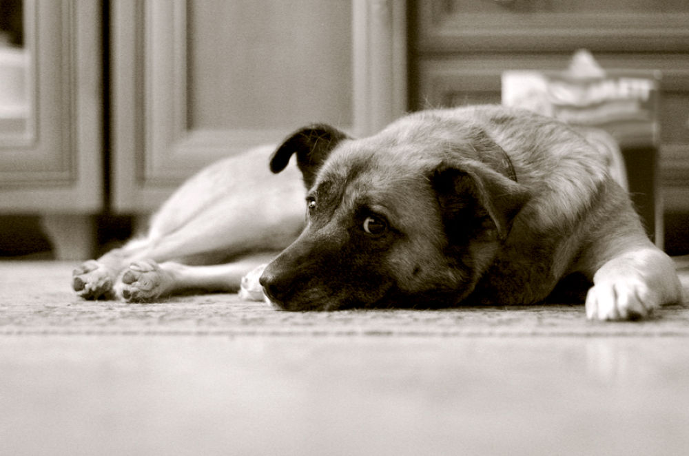 Photo in Animal #animal #dog #black and white #eyes #look #grief #sad #lie #rest #rusova anna #canon