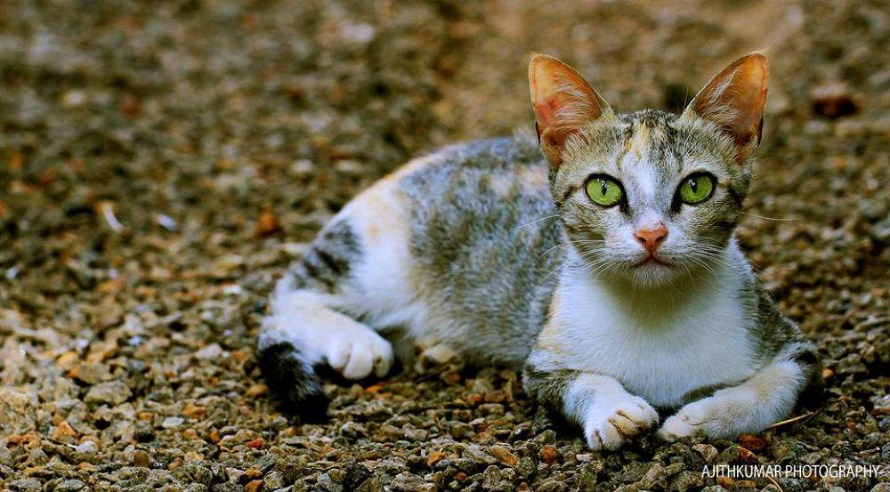 cat.jpg by Ajithkumar