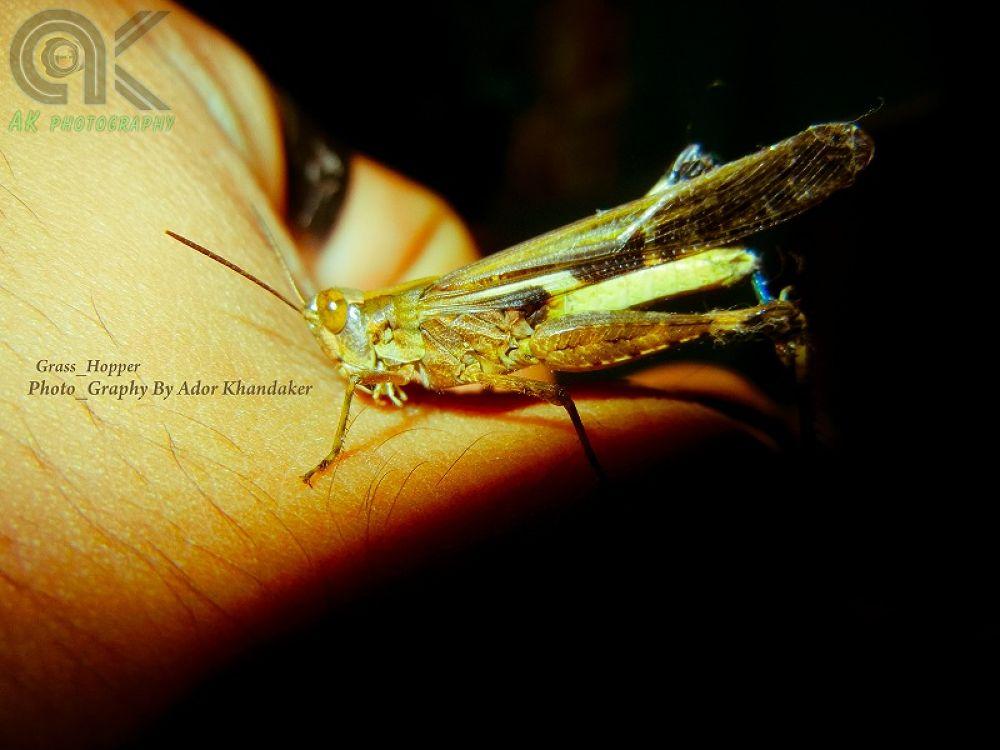 Grass_Hopper by Khandaker Almas Mahmud Ador