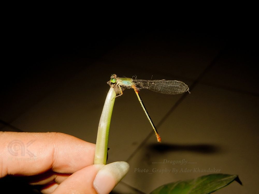 Dragon_Fly by Khandaker Almas Mahmud Ador