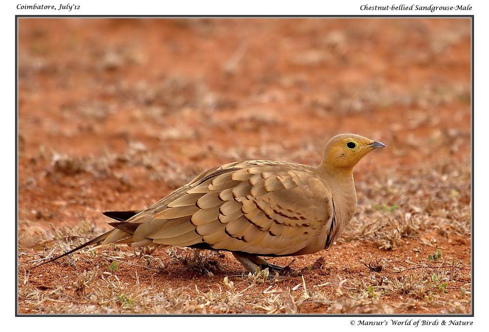 Chestnut-bellied Sandgrouse-Male by MansurAhamed
