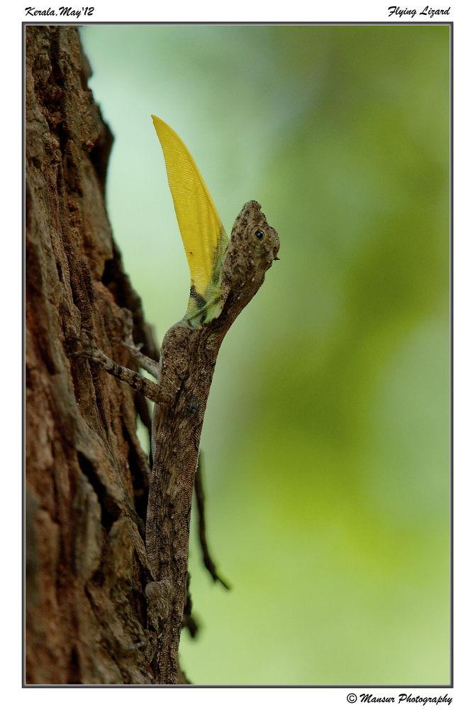 Flying Lizard by MansurAhamed
