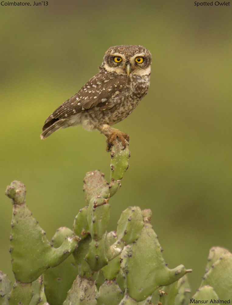 Spotted Owlet by MansurAhamed