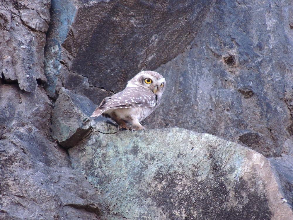 The spotted owlet by Hrishikesh Karandikar