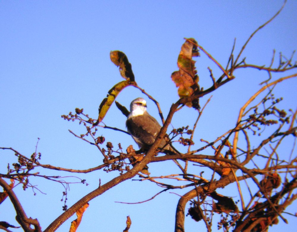 Black Winged Kite by Hrishikesh Karandikar