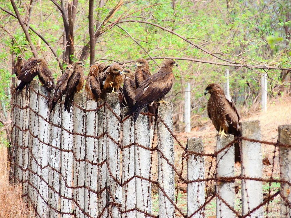 The school of Black Kites :D :D by Hrishikesh Karandikar