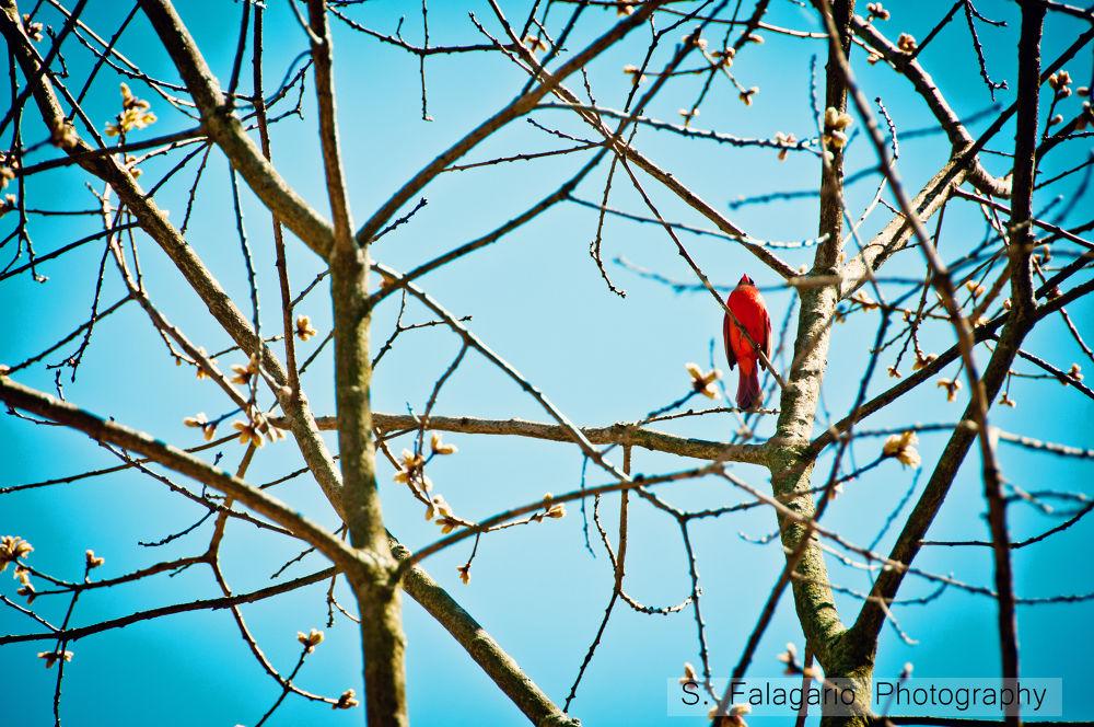 Cardinal by sfw_photos
