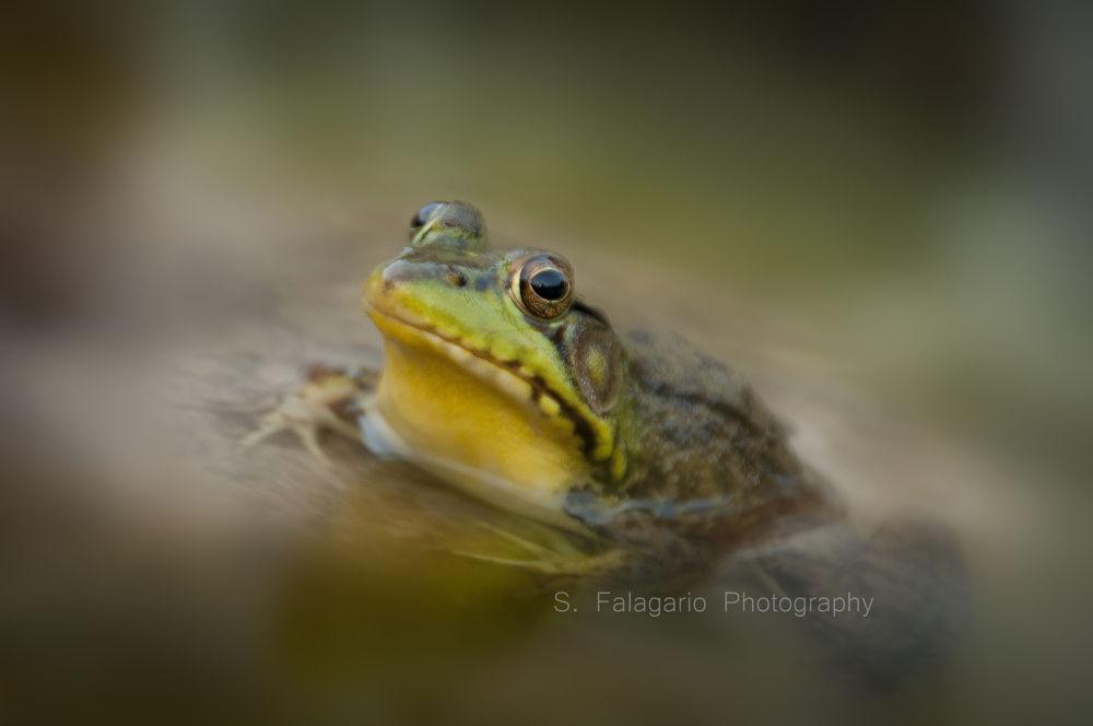 Bullfrog by sfw_photos