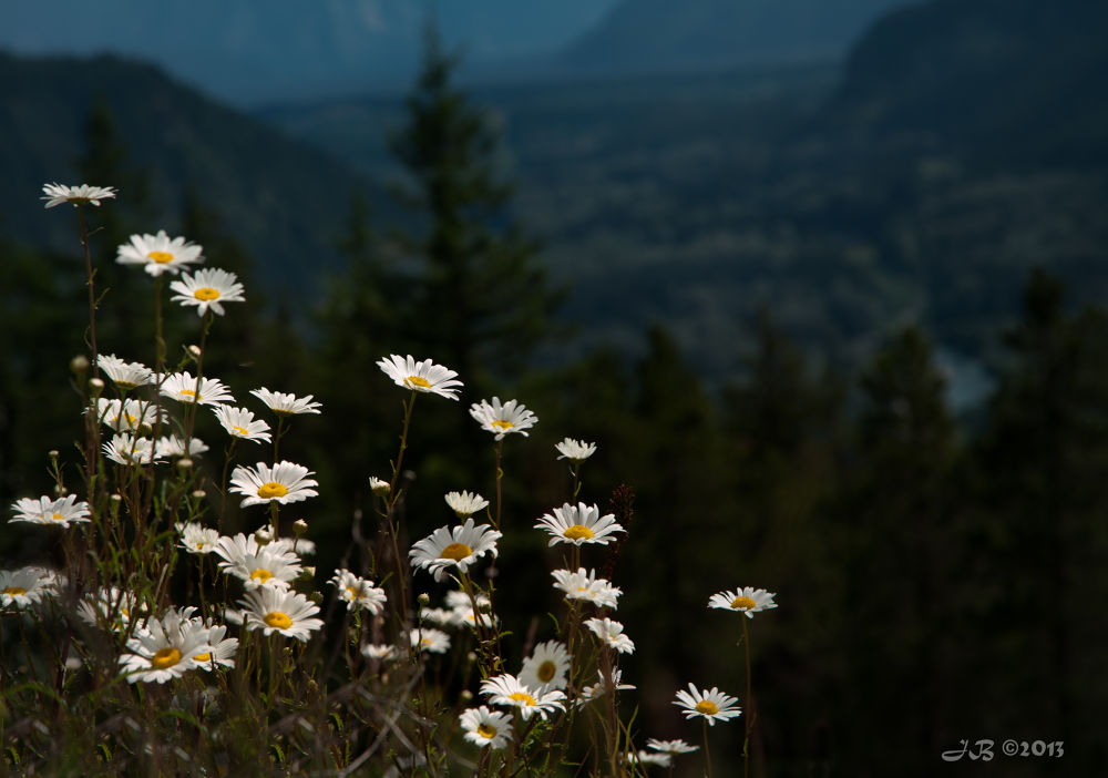 Roadside Daisies, Whistler, BC by jacolynca