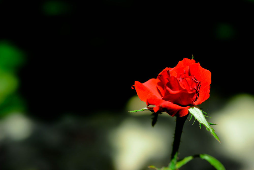 Rose of Love by ebrahimi