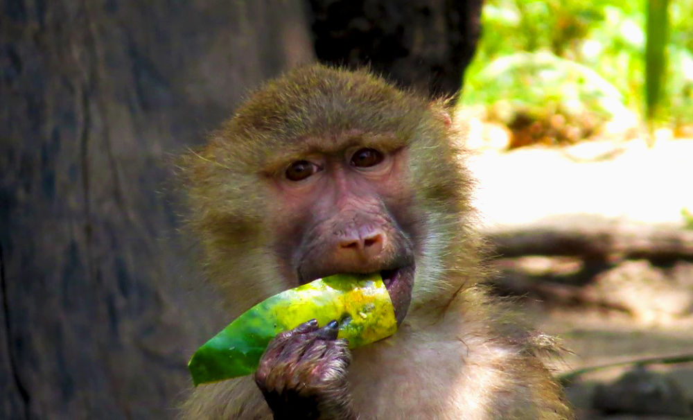 monkey by Sai Krupa Chary