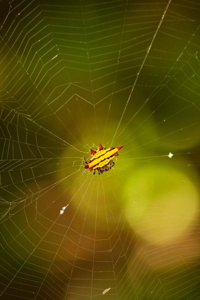 Weird Looking Spider by tutunj
