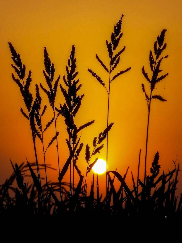 Sunset in the paddy Field.jpg by ЯΔJJIБ'S PЂØŦØ