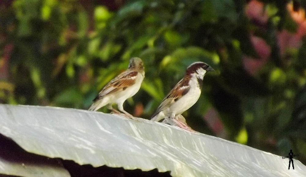 Sparrow Birds.jpg by ЯДJJIБ'S PЂØŦØ