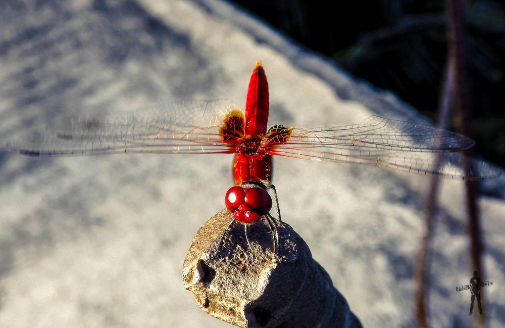 Dragonfly [Red] by ЯΔJJIБ'S PЂØŦØ