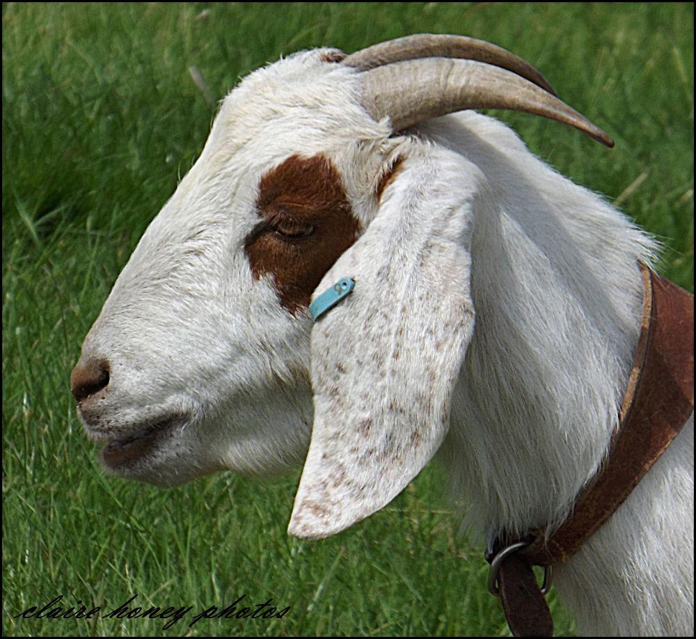Billy goat gruff by clairehoney186