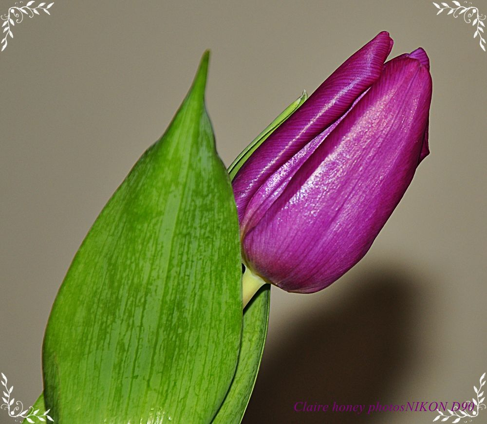 another tulip shot by clairehoney186