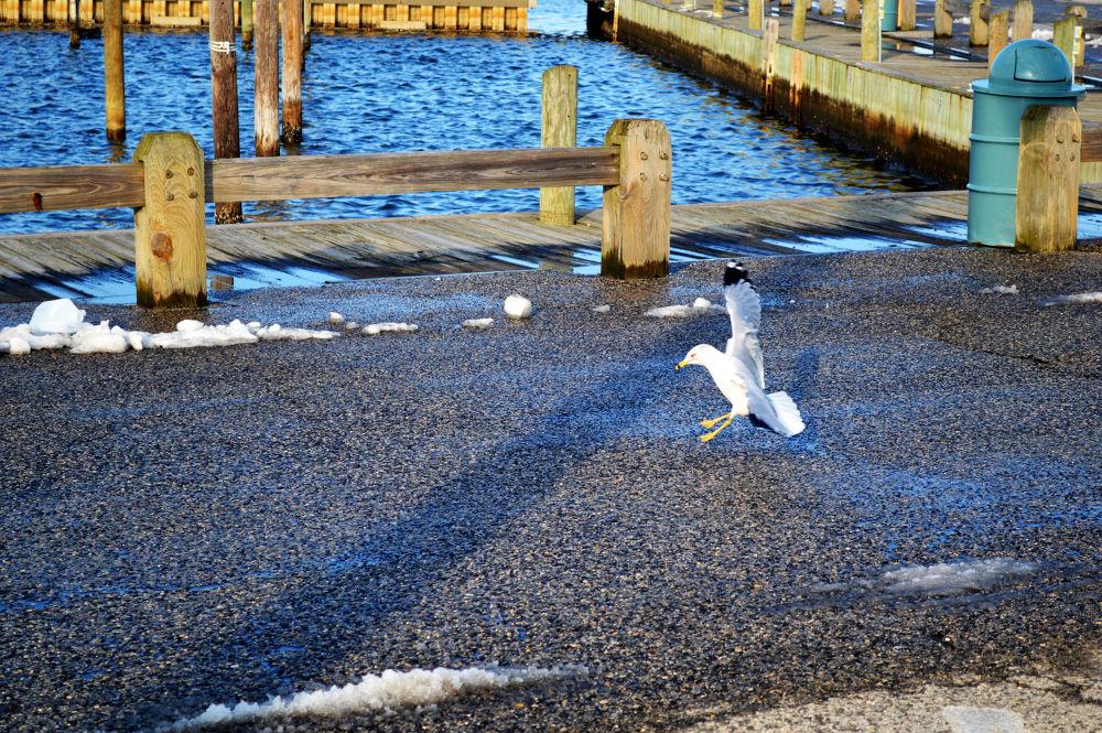 Seagull landing by DanWrightPhotography