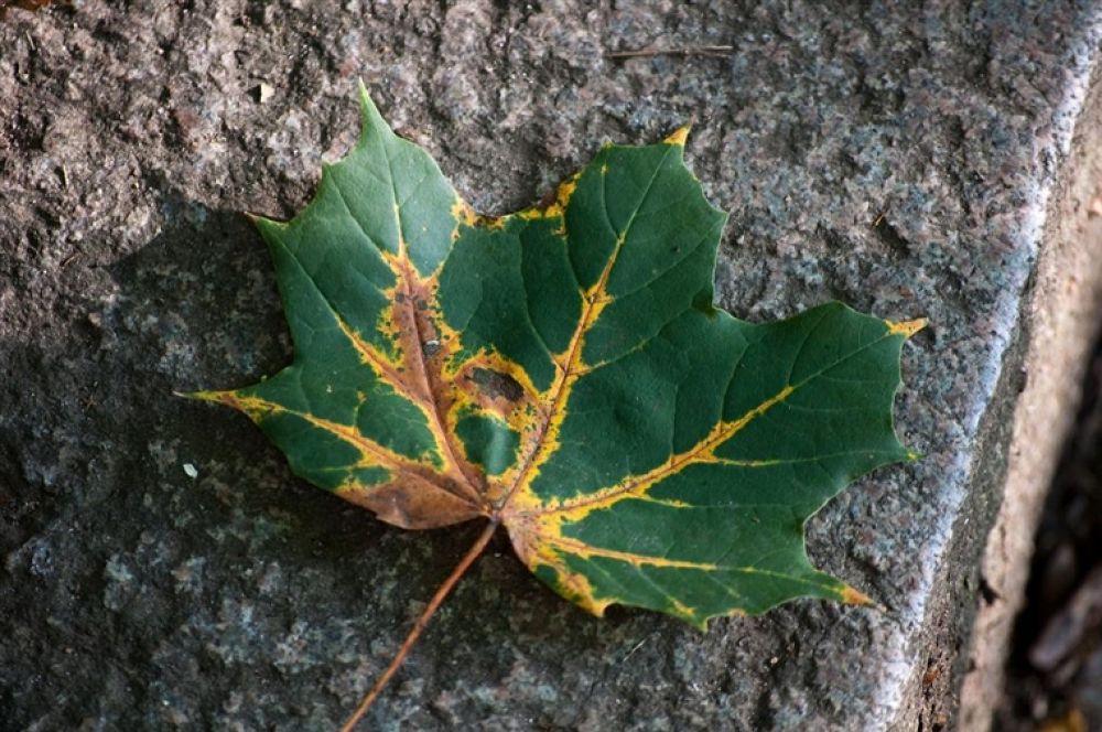 Photo in Random #leaf #maple #lönnlöv